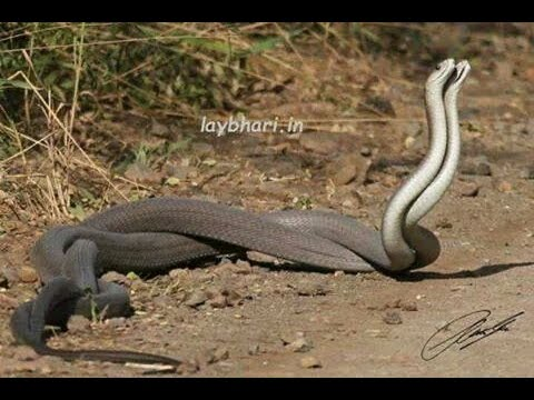 Naag Nagin khel de hoye || Real Snakes Can Be A Lot Of Fun And Cool Companions
