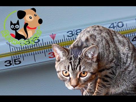 Как понизить температуру коту