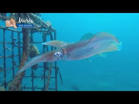 Mating & Egg Laying Squids - Murex Dive Resorts