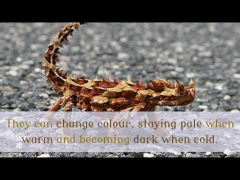 16 Unknown Facts You Should Know About Thorny Devil