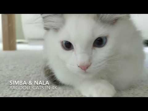 SIMBA & NALA : Cute funny Ragdoll Cats in a box 4K