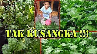 #TIS#CARA MUDAH Panen Sawi Bertahap+Hasil Berlipat | How to Harvest Mustard Greens