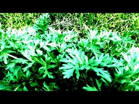 полыни горькой травы от глистов