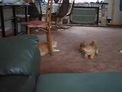 Norwich terrier puppy vs cat