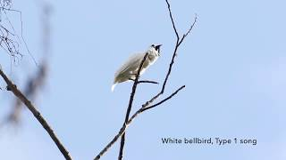 The Amazon's white bellbirds are the world's loudest birds