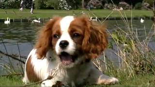 Lucy And Oscar Cavalier King Charles Spaniels Visits Clumber Park