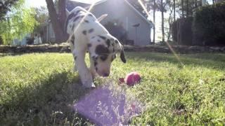 Great Dane Puppy!
