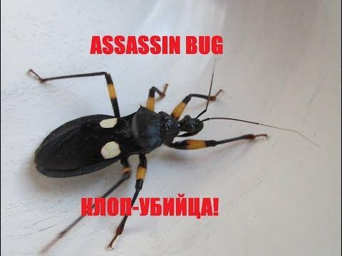 Клоп-хищнец Platymeris biguttatus убивает таракана