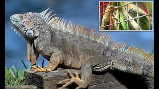 Florida is swarmed with IGUANAS, causing power outages and more issues - 247 news