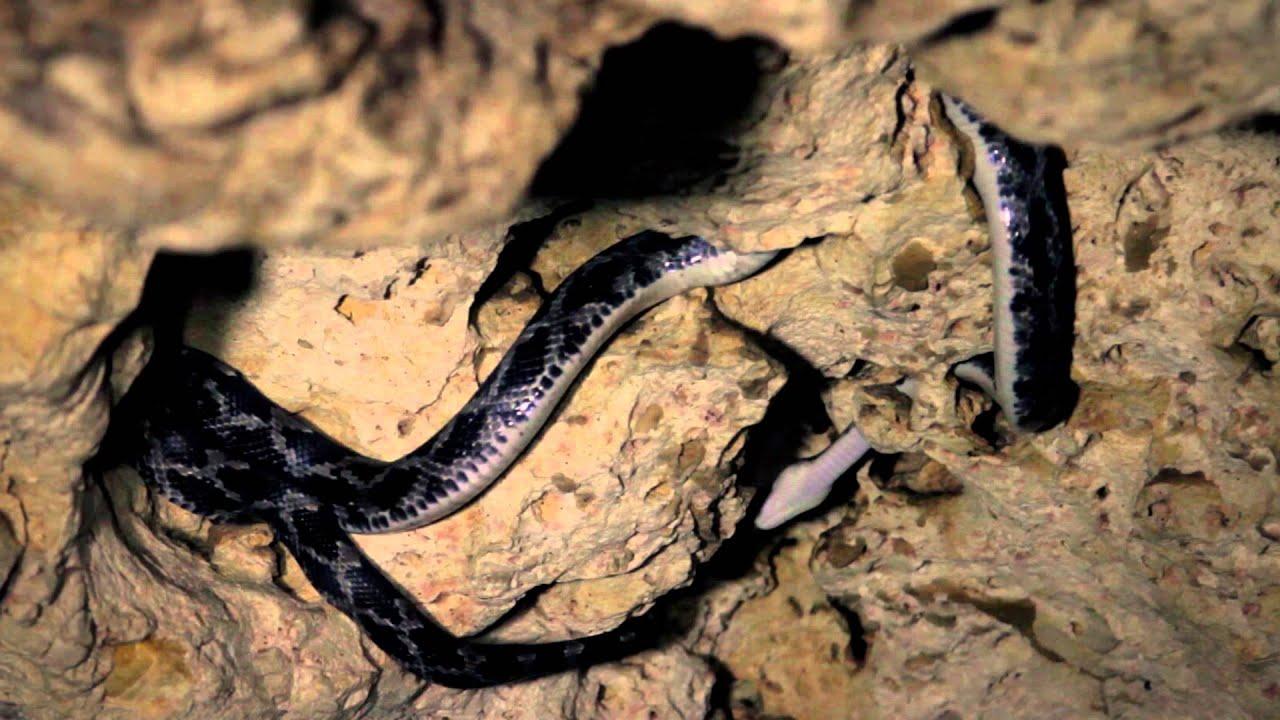 Las serpientes colgantes en las Grutas de Kantemó