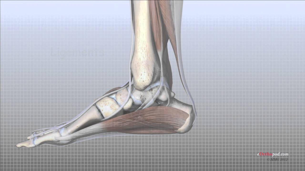 Foot Anatomy Animated Tutorial Youtube