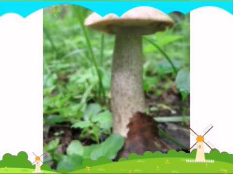 энциклопедия съедобных грибов в картинках