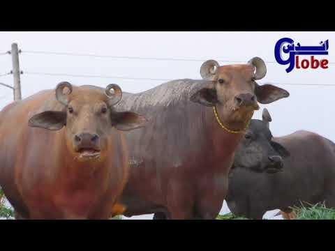 Buffalo Dacumentry | Unique Buffalo Breed Kundhi || Dosu Jat Love with Buffalo Breed |Banni Buffalo