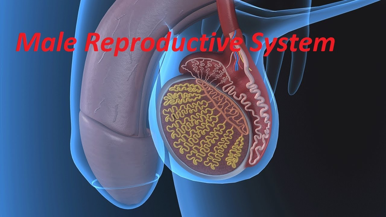 Anatomy And Physiology Of Male Reproductive System Youtube