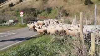 シープドッグが活躍するニュージーランドらしい風景、羊達の大移動〜