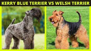 KERRY BLUE TERRIER vs WELSH TERRIER | Dog Facts 101