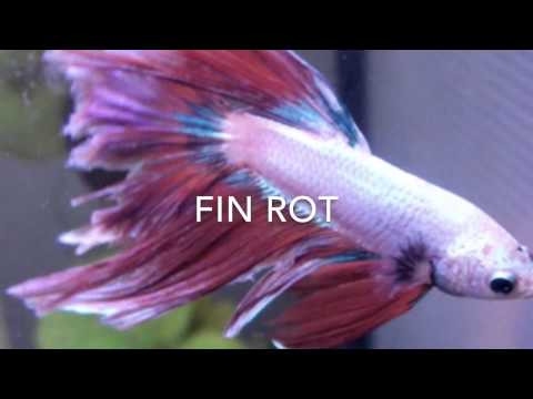 Betta Fish Fin Rot?!