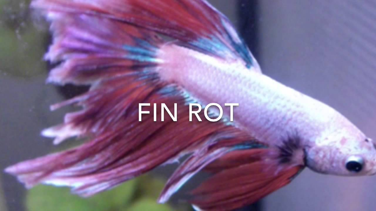Betta Fish Fin Rot Youtube