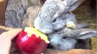 Кролики едят яблоко, смачно кушают, забавные животные(Эти забавные животные, кролики, смачно кушают яблоко с моей руки. Крольчиха и крольчата едят яблоко. На..., 2013-03-27T08:26:34.000Z)