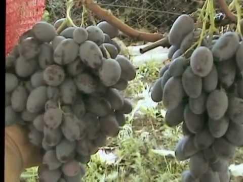 Черный виноград - характеристика этого сорта с фото