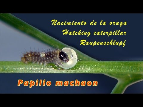 Hatching caterpillar Papilio machaon, trilingual 4K