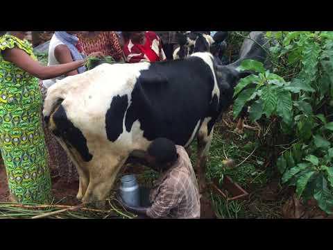 Murindi cows Jan2018