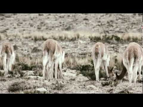 CITES and Vicuñas - a conservation journey