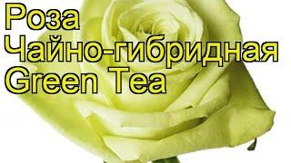 Роза чайно-гибридная Грин Тиа. Краткий обзор, описание характеристик, где купить саженцы Green Tea
