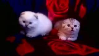 Предлагаются к резерву шотландские котята 2017 Витебск