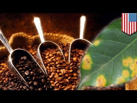 'Coffee rust' threatening coffee plantations for gourmet coffee beans