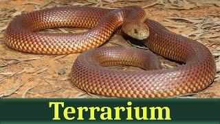 Мулга (лат. Pseudechis australis)