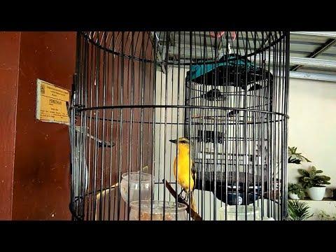 Full Download] Masteran Burung Mantenan Kacer Cucak Ijo