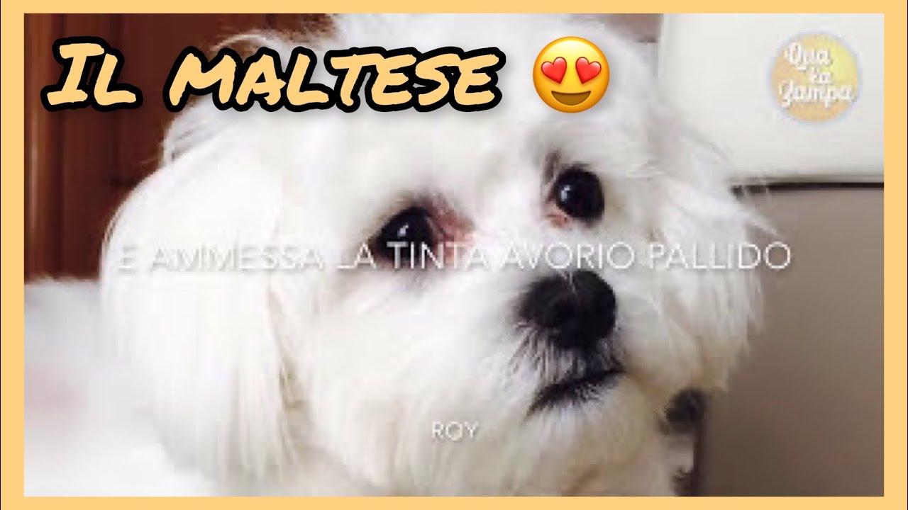 Razze Di Cani Il Maltese Qua La Zampa