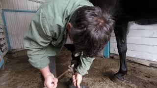 Расчистка копыт карачаевской лошади.