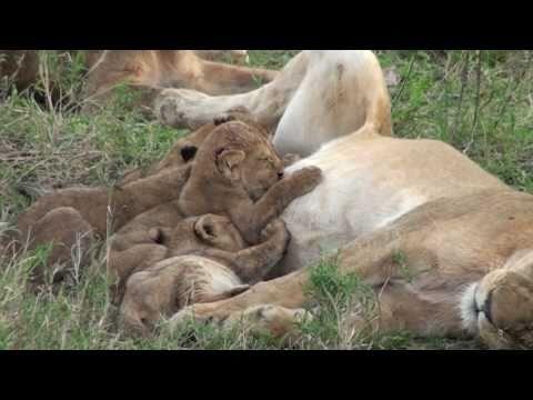 Lion Cubs Feeding - Serengeti
