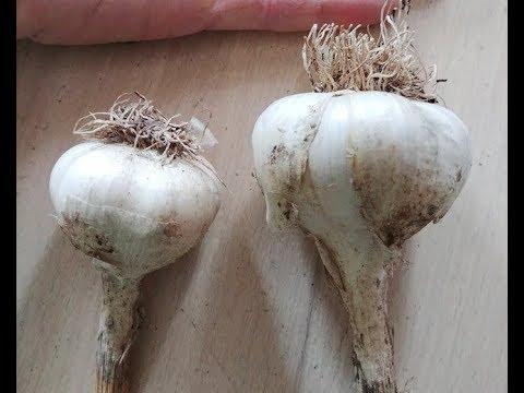 Planting 550  Garlic  cloves on my small scale farm