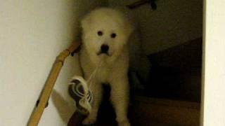 生後8か月のグレートピレニーズ・コロが靴を玄関から奪って遊んでいます。