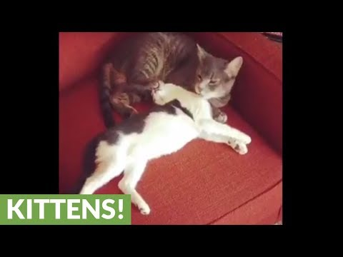 Cat grooms kitten in extremely humorous manner