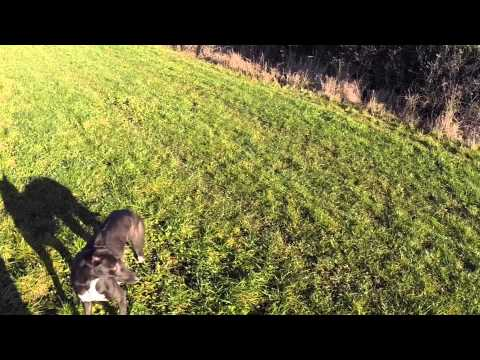 Bull-X Training Lure coursing a bolting rabbit