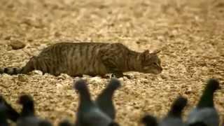 Когда дикий кот выходит на охоту