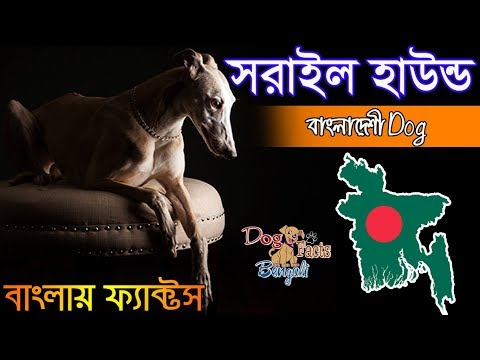 Sarail hound dog facts in Bengali | Bangladeshi Dog Breed | Dog Facts Bengali
