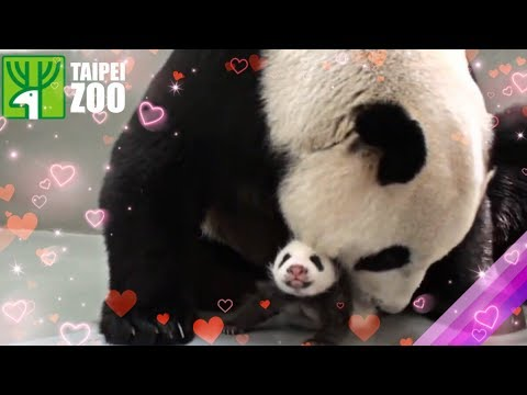 Panda Cub Reunited with Her Mom! -Taipei Zoo (Eng Sub)