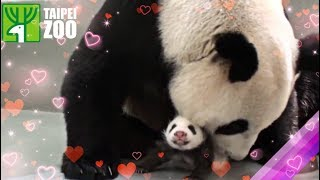 圓仔回到媽媽懷抱 Giant Panda Baby Back to Mom