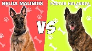 Pastor Belga Malinois vs Pastor Holandes