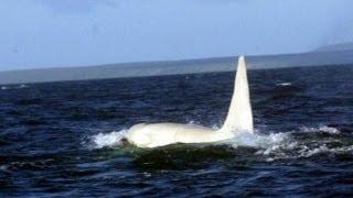 Paus Orca Putih Dewasa Ditemukan di Rusia