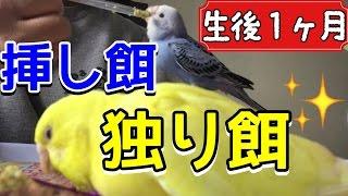 セキセイインコ複数飼いを始めて、初の二羽でごはん☆ 挿し餌で食べるオ...