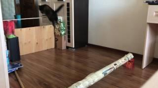 Конкурная тренировка кошек/60см/аджилити#конный влог?!