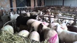 Πρόβατα χαλβαντζης Germanoxiotika assaf Awassi τηλ