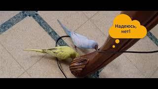 Три минуты из жизни попугаев