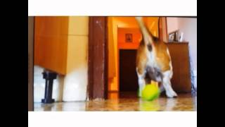 Adult Beagle Plays With A Tennis Ball